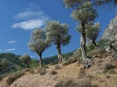 07_Olive-Tree